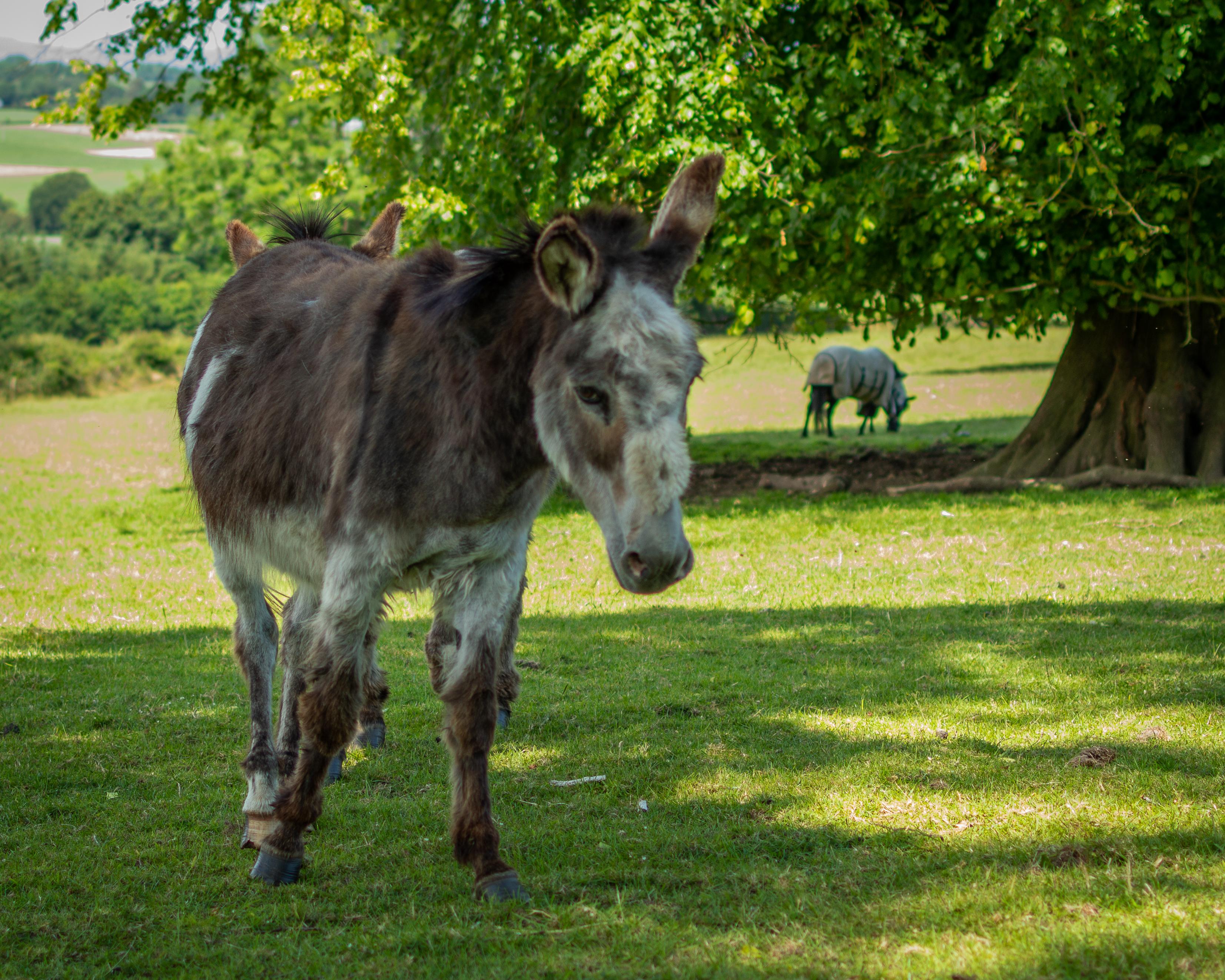 Two-Headed-Donkey